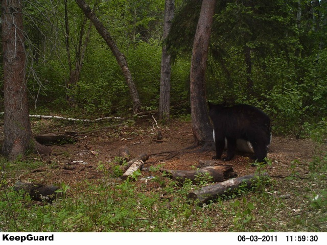 Camtracker Pic of Garets bear the day before